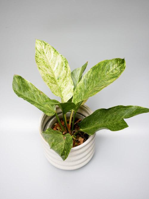 Rarität, seltene pflanze, rare plant store, online plant store, plants berlin, variegated plant, variegated anthurium