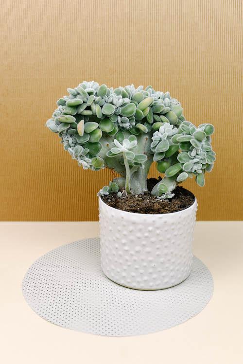 Echeveria pulvinata 'Frosty' in NAHK planter